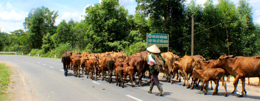 Livestock on the Ho Chi Minh Motorbike Route