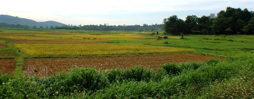 Pho Chau Rice Fields