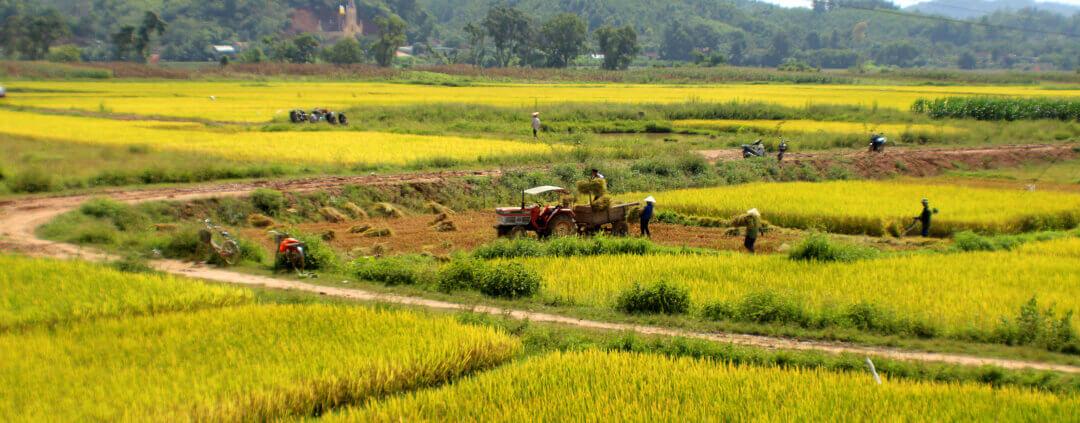 Harvesting rice in Vietnam